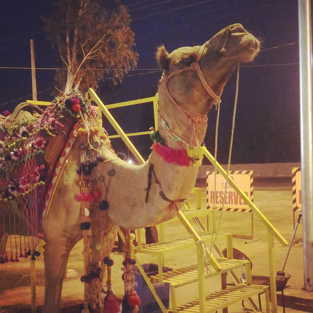 Somewhere on the Delhi highway Delhi delhihighway camel decoratedcamel indiancamelhellip